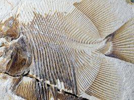 Пиранья юрской эпохи — самая ранняя в мире плотоядная рыба