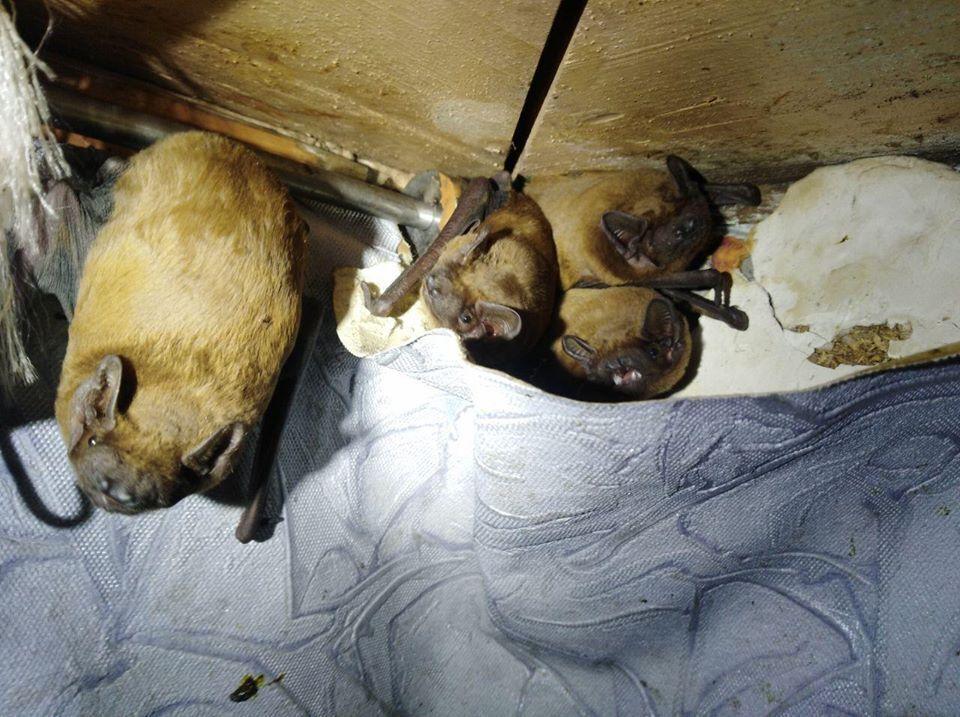 На балконе киевлянина поселилась сотня летучих мышей: фотофакт